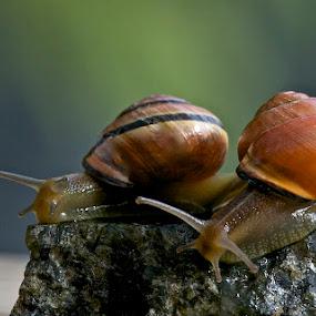 Garden Snails by Dora Korz - Animals Other ( macro, snail, close up, garden )