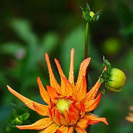 Etoile orange by Gérard CHATENET - Flowers Single Flower