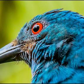 Blue Boy by Ken Nicol - Animals Birds