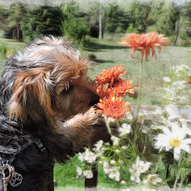 Yorkie daisies by Melissa Davis - Animals - Dogs Puppies ( smell, yorkie, daisies, puppy, flowers )