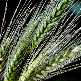 Wheat  by Asif Bora - Nature Up Close Gardens & Produce