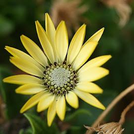 SUN RAYS by Giovanna Pagliai - Flowers Single Flower ( life, nature., continue, seeds, yellow, survival, heath )