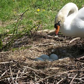 Swan Guarding Her Nest by Barbara Storey - Animals Birds ( bird, wild, eggs, mother, nest, swan, spring,  )