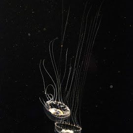 Crystal Jellyfish by William Rogers - Animals Sea Creatures ( new england, aquarium, crystal, bioluminescence, jellyfish )