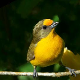 BONITO LINDO! by Itamar Campos - Animals Birds ( euphonia violacea, brazil, violaceous euphonia, bonito lindo, morretes )