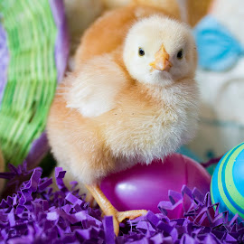 by Brandi Nichols - Public Holidays Easter ( bird, farm, easter, poultry, chickens, chicks, birds, Spring, springtime, outdoors,  )