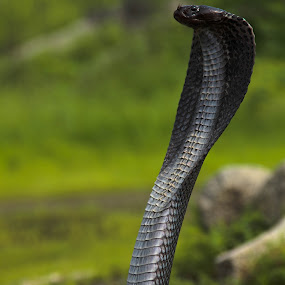 King Cobra - 1 by Bhavik Patel - Animals Reptiles