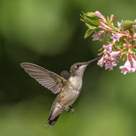 What's Up There by Roy Walter - Animals Birds ( wild, ruby throated hummingbird, nature, wildlife, hummer, animal )