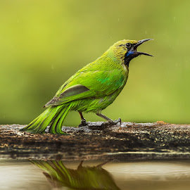 Jerdons Leafbird by Ketan Vikamsey - Animals Birds ( canon5dmarkiv, pic of the day, canonusa, wonderful places, lonelyplanet, lonelyplanetmagazineindia, natgeohd, worldphotographicforum, canonphotography, great nature, natgeo, photo of the day, kv kliks, jerdons leafbird, natgeotravel, wilderness, travel the world pix, bbctravels, india tourism, ketan vikamsey )