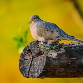 by Mike Craig - Animals Birds ( bird, pretty, dove )