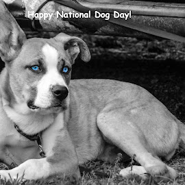 Blue eyes by Deborah Murray - Animals - Dogs Portraits ( blue, black and white, outdoors, summer, blue eyes, dog )