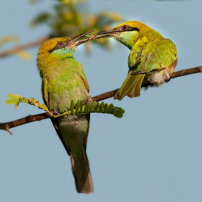 The Joy of Sharing by Masood Hussain - Animals Birds ( freedom, flying colors, glide, wildlife, birds, birding, ornithology, free, sharing, sky, nature, wings, action, ecology, bird photography, biology, limit, green bee eater, majestic, colors, glory, bird pictures, bird photos, forest, bird, magnificent, bird shots, flight, blue, fly, jungle, eating, take off, high, natural )