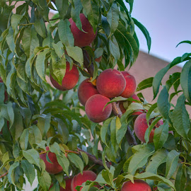 Ready for Peach Pie by Jackie Eatinger - Nature Up Close Gardens & Produce (  )