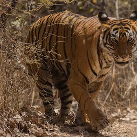 Tiger Stare by Ganesh Namasivayam - Animals Lions, Tigers & Big Cats ( noor, tigress, tiger, ranthambore tiger reserve, striped )