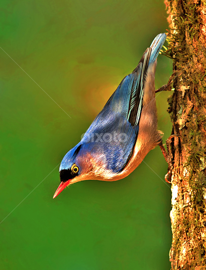 VELVET FRONTED NUTHATCH by Subramanniyan Mani - Animals Birds