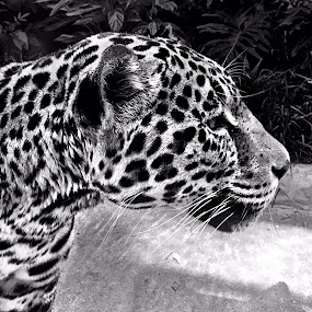 Jaguar, B&W by Charline Ratcliff - Black & White Animals ( big cat, jaguar, up close, nature, black and white, wildlife, animal,  )