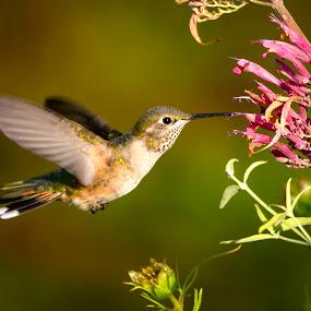 Broad-tailed Hummingbird by Brandon Downing - Animals Birds ( bird, nature, hummingbird, fine art, colorado, wildlife, in flight, flower )
