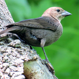 Cowbird - Ash Creek by Erika  Kiley - Novices Only Wildlife ( bird, female, marsh, gray, spring )