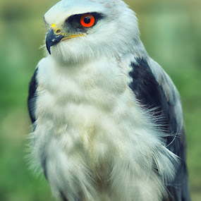 White Eagle 1 by Dimas N - Animals Birds