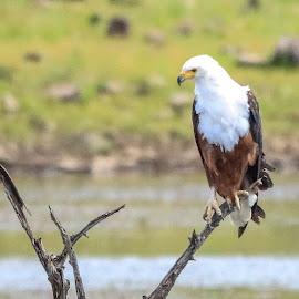 Fish Eagle by Dirk Luus - Animals Birds ( bird, eagle, nature, fish, animal )
