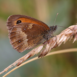 Damp Gatekeeper by Chrissie Barrow - Animals Insects & Spiders ( orange, butterfly, gatekeeper, grass, white, antennae, insect, close up, bokeh, spot, macro, wings, brown, legs, black, eye, animal )