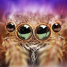 The Eyes by Widi Hardhanu - Animals Insects & Spiders ( macro spider )