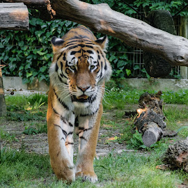It's so hot by Simon Olup - Animals Lions, Tigers & Big Cats ( big cat, zoo, tiger, summer, hot, animal )