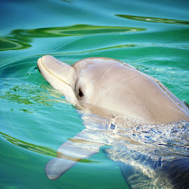 Dolphin at Seaworld on the Gold Coast by Jodie Graham - Animals Amphibians ( water, dolphin, sea, ocean )
