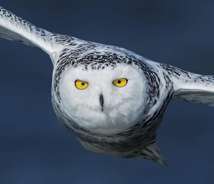 Snowy Owl by Zaphir Shamma - Animals Birds ( beautiful, owl, raptor, snowy owl, eyes )