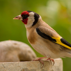 European Goldfinch by Şenol Şahin - Animals Birds ( adana, kuşlar, saka, turkey, birds )