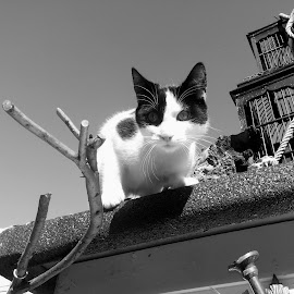 BLACK & WHITE PORTRAITS by Redski Pictures - Animals - Cats Portraits ( cat, black and white, portrait, animal )