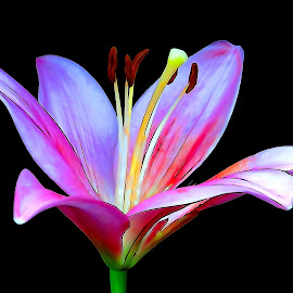 Lilium digital by Asif Bora - Digital Art Things