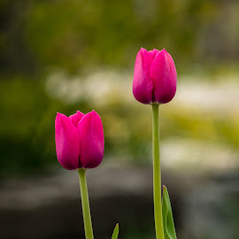 Two Tulips by Chad Roberts - Flowers Flower Gardens ( red, pink, tulips, flowers, spring, garden )