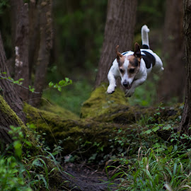 Jumping Jack by Stuart Byles - Animals - Dogs Running ( jack, jumping, grass, takumar, trees, auto, dog, woods, russell, jump,  )