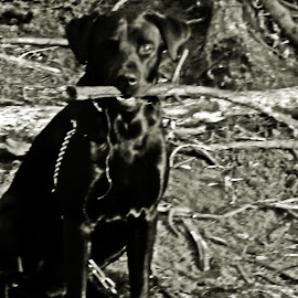 Bubu and his Sticks by Kasha Newsom - Animals - Dogs Portraits ( dogs, black and white, dogs playing, dog portrait, black lab )