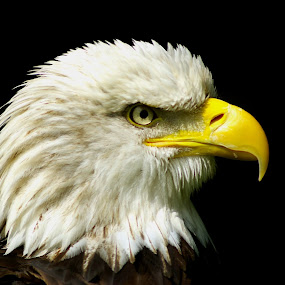 Bald Eagle  by Ian Flear - Animals Birds (  )