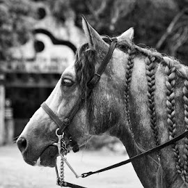Hair braids by Sergio Yorick - Black & White Animals ( black and white, horse, braids, portrait, animal,  )