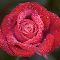 0 Rose 9816~.jpg