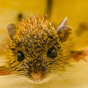 Rat by Gourab Mitra - Animals Other Mammals ( mammals, house rat, macro, pwcmovinganimals, rat, animal )