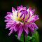 Purple and White Dahlia  03 10 18.jpg