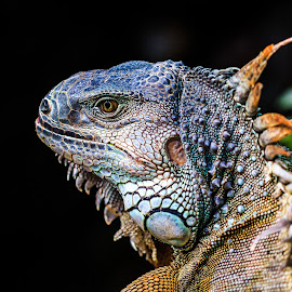 Iguana by Rene Timbang - Animals Reptiles ( #iguana #reptiles #beautiful #canonshots #animals )
