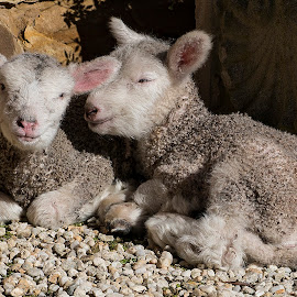 Happy lambs by Greg Jones - Animals Other ( farms, lambs, sheep, spring, smiling )