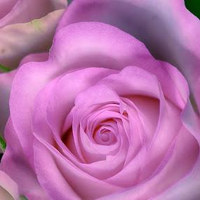 Pink Beauty by Marco Bertamé - Flowers Single Flower ( rose, bloom, pink, beauty,  )