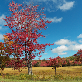Red Tree, Fall by Tina Tippett - Landscapes Prairies, Meadows & Fields ( forests, trees, landscapes )