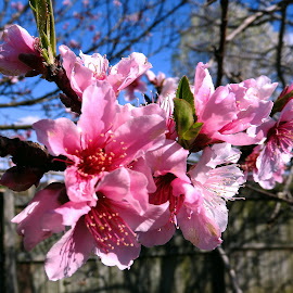 Nectarine Blossoms by Bill Martin - Flowers Tree Blossoms ( macro, nature, pink, beauty, spring, flower, blossom )