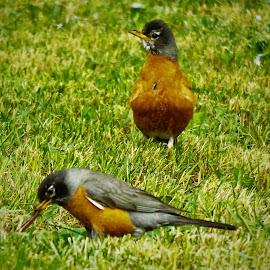 The Early Bird Gets The Worm by Shane Lusk - Novices Only Wildlife ( idaho, worm, rigby, feeding, robins, early bird )
