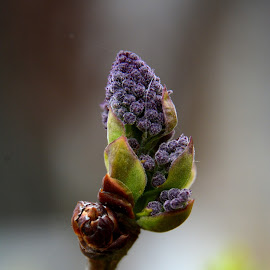 purple bud by Jelena Djomparin - Nature Up Close Leaves & Grasses ( purple, green, nature up close, flower bud, spring )