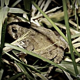 Ribbit Ribbit by Inga Coy - Animals Amphibians ( amphibian, animal )