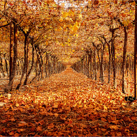Under the Vine by Maricha Knight van Heerden - Landscapes Prairies, Meadows & Fields ( autumn, vine, fall, yellow, leaves )
