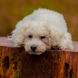 Bichon Frise Resting by Jenny Trigg - Animals - Dogs Portraits ( tree stump, bichon frise, woodland, dog, spring, portrait )